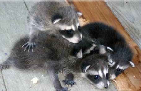 how to get a baby raccoon