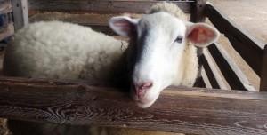 Lamb in pen